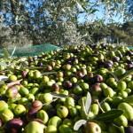 oliva verde e rosso