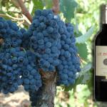 pugliai szőlő és bor