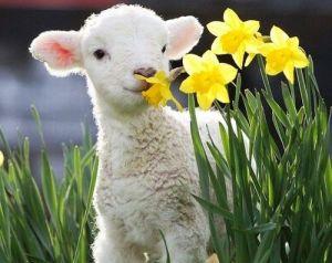 sheep spring